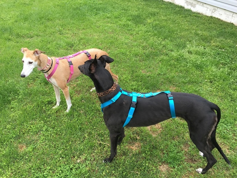Spook Harness For Greyhounds 2020