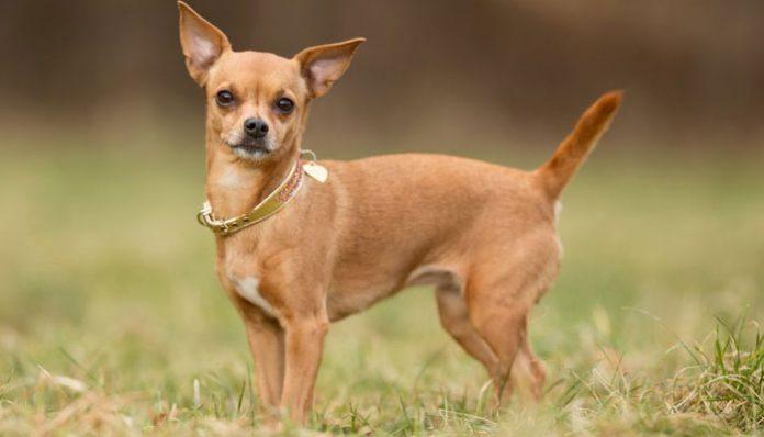 Best Chihuahua Barking Collar