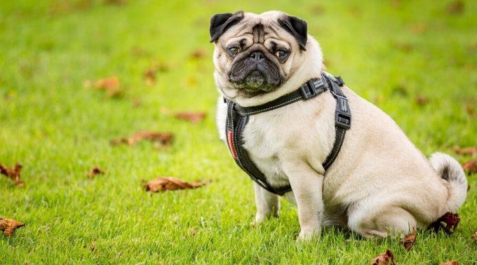 pug life harness reviews