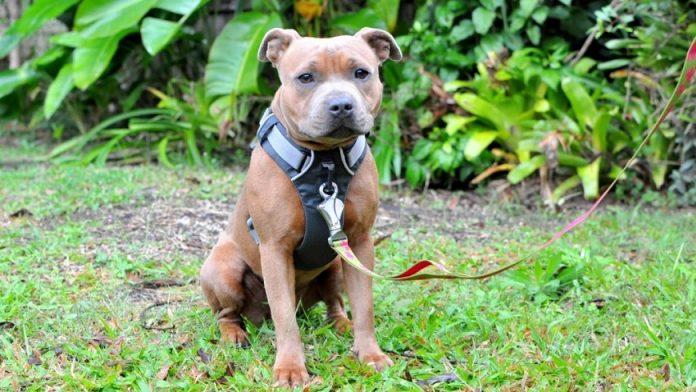 Best pitbull harness