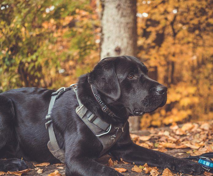 Best harnesses for Labrador