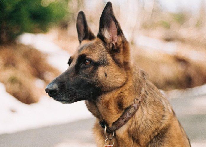Bark Collar For German Shepherd