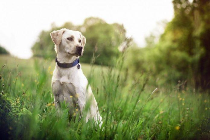 Vibrating Dog Collar For Deaf Dogs